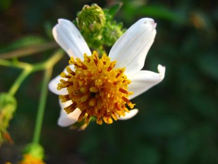 khi những cánh mỏng nhỏ dần, nhụy hoa vàng bung phấn