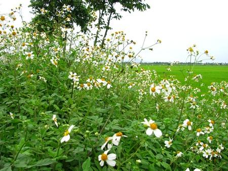 xuyến chi lan ra thành bụi rậm như một vườn sao trắng