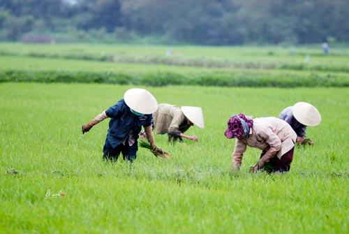 Đó là nhờ hững cánh đồng lúa xanh mơn mởn và những con người lao động cần cù, chất phác