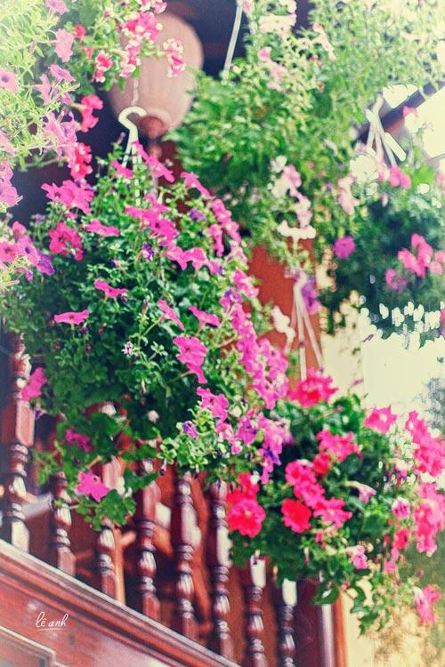Dàn hoa mà hầu như nhà nào cũng có