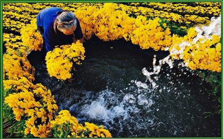 """ảnh """"Hoa cúc xuân"""" của Đặng Kế Đức"""