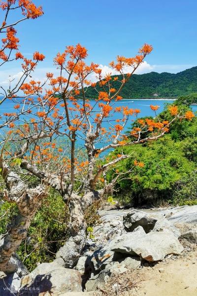 Cây hoa ngô đồng được trồng ven con đường bê tông tại Hòn Lao, đảo lớn nhất của Cù Lao Chàm và là nơi tập trung dân cư sinh sống.  Cù Lao Chàm gồm 8 đảo với tên gọi hòn Lao, Tai, Dài, Mồ, Lá, Ông, Khô Mẹ và Khô Con, có tổng diện tích trên 15 km2. Trong đó rừng chiếm khoảng 90% và có hơn 3.000 cư dân sinh sống.
